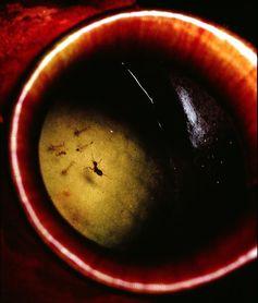 Die tauchende Ameise Camponotus schmitzi Quelle: © Dennis Merbach (idw)