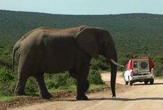 Elefantenbulle wird mit Playback konfrontiert. Bild: Anton Baotic, univie.ac.at