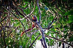 WWF-Expedition entdeckt bislang unbekannte Primatenart in Brasilien, die zur Gattung Callicebus (Springaffen) gehört  © Julio Dalponte