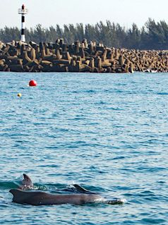 Bleifarbene Delfine schwimmen an den neuen Drumlines (Köderhaken) vorbei. Bild: © Brett Atkins
