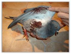 Angeschossene Taube. Bild: PETA