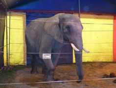 Elefantendame Benjamin im Circus Luna. Bild: PETA