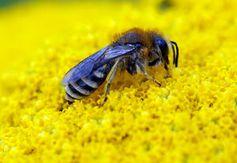 Biene: Ihr Gehirn soll Drohnen künftig komplett steuern. Bild: pixelio.de/luise