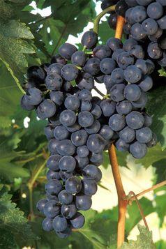 Weintraube mit Beeren einer roten Rebsorte