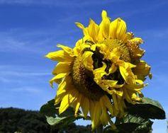 Sonnenblume: Licht und Ernährung wichtig. Bild: pixelio.de, uschi dreiucker