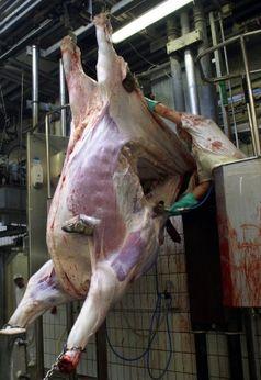 Abschlachten von Rindern in einem Schlachthaus