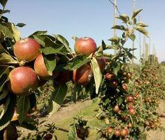 Äpfel: Diese blühen in Gesellschaft richtig auf.