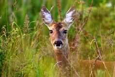 Reh Bildquelle: Deutsche Wildtier Stiftung