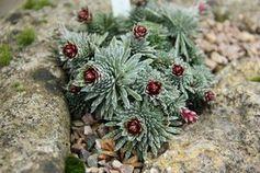 Saxifraga sempervivum im Botanischen Garten in Cambridge.