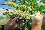 Alternative zu glutenhaltigen Getreidesorten: Hirse Bild: de.wikipedia.org