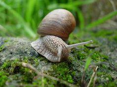 Schnecke: fungiert als Parasiten-Express. Bild: pixelio.de, Simone Ender