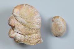 Zu Unrecht für den Rückgang der Austern verantwortlich gemacht: Pantoffelschnecke Crepidula fornicata. Quelle: Senckenberg/Tränkner (idw)