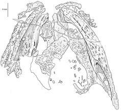 Zeichnung des Schädels nach einem Silikonausguss. Zu sehen sind Teile von Ober- und Unterkiefer sowie die Knochen des Gaumens. Bild: Museum für Naturkunde Berlin
