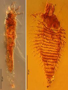 Zwei neue Arten von Gallmilben in 230 Millionen Jahre alten Bernsteintropfen aus Italien in 1000-facher Vergrößerung aufgenommen: Triasacarus fedelei (links) und Ampezzoa triassica Quelle: Foto: Universität Göttingen (idw)