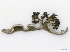 Lebensgemeinschaft aus Alge (obere grüne Schicht) und Pilz  - die Flechte Lasallia Pustulata Quelle: Copyright: Francesco Dal Grande (idw)