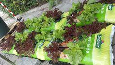 Die Salatpflanzen wachsen in improvisierten Pflanzgefäßen. Quelle: Foto: Martina Tanzhaus (idw)