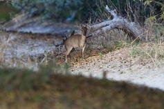 Der Maxwell-Ducker (Philantomba maxwellii), eine kleine Antilope, die in Westafrika lebt. Quelle: (Foto: Paul Cools / Naturalist.org) (idw)