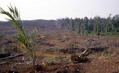 Ölplantagen wie im Bundesstaat Sabah (Malaysia) auf Borneo wirken sich unmittelbar auf das ökologische Gefüge und die ökologische Qualität im Umfeld aus Quelle: Foto: C. Brühl/Uni Landau (idw)