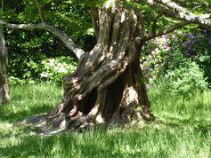 Drehwuchs bei Bäumen ist meistens ein deutliches Indiz dafür, dass der Baum auf einer geopathischen Störzone steht