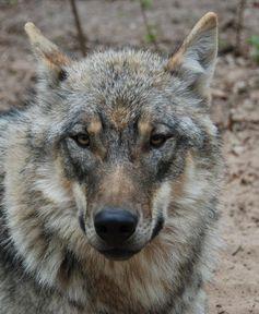 Stammt dieser Wolf aus Südeuropa? Die neuen genetischen Marker können darüber Aufschluss geben. Quelle: © Susanne Carl (idw)