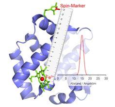 Das Fe3+-Ion im katalytischen Zentrum verhält sich wie ein Magnet: Ändert er seine Polung, ruft das bei dem ebenfalls magnetischen Marker ein Echo hervor, aus dem sich der Abstand errechnen lässt. Quelle: © AG Schiemann/Uni Bonn (idw)