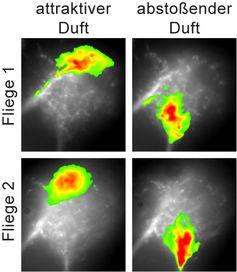 Ein attraktiver Duft aktiviert eine andere Region im lateralen Horn als ein abstoßender Duft. Diese Regionen sind von Fliege zu Fliege gleich und somit genetisch festgelegt. Quelle: Silke Sachse /  / Max-Planck-Institut für chemische Ökologie (idw)
