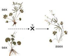 Aus der Kreuzung zweier unterschiedlicher, sexueller Hahnenfuß-Arten resultierten Hybriden, die spontan asexuelle Fortpflanzung und reduzierte Blüten zeigen. Quelle: Foto: Universität Göttingen (idw)