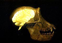 Hirn eines Schimpansen Quelle: Anthropologisches Institut und Museum (idw)