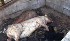 Grube mit toten Hunden und Schweinen. Bild: PETA