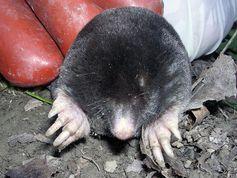 Iberischer Maulwurf (Talpa occidentalis) Quelle:  (idw)