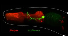 Das RIS-Neuron (grün) im Rachen des Fadenwurms C. elegans. Quelle: Wagner Steuer Costa (idw)