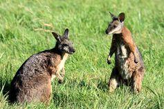 Wallabys sind mit drei bis vier Kilo eine kleine Känguru-Art, also etwa so groß wie unsere einheimischen Feldhasen. Quelle: Foto: Kathleen Röllig/IZW (idw)
