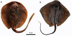 Zwei heutige Stachelrochen: a) Taeniura lymma; b) Neotrygon sp. Die Exemplare befinden sich in der Sammlung des Institutes für Paläontologie der Universität Wien. Quelle: © Giuseppe Marramà (idw)