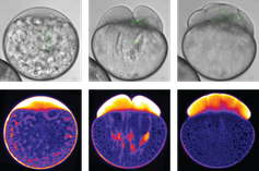 Während die Zellteilung in der Zebrafisch-Eizelle einsetzt, entmischen sich Cytoplasma und Dottergranulate. Obere Bildreihe: Hellfeldaufnahmen der Entwicklung des Zebrafisch-Embryos Quelle: IST Austria/Heisenberg group (idw)