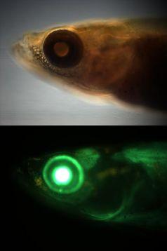 Japanischer Süßwasserfisch Medaka Quelle: Abbildung: Ettwiller / Eichenlaub (idw)