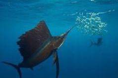 Ein Segelfisch führt seinen Schnabel durch einen Sardinenschwarm. Quelle: Foto: Rodrigo Friscione (idw)
