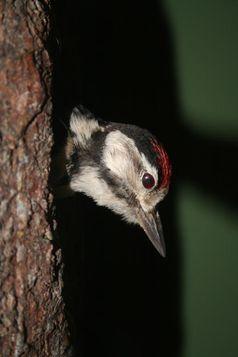 Heutige Spechte sind typische Baumbewohner Quelle: © Senckenberg (idw)