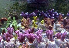 """""""Ocean 2100""""-Projekt: Auswirkungen des Klimawandels auf riffbildende Steinkorallen. Quelle: Foto: Patrick Schubert (idw)"""