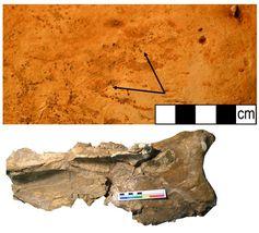 Schulterblatt eines Mammuts vom Fundplatz La Cotte de St Brelade. Auf der Knochenoberfläche lassen sich deutliche Schnittspuren von Steinmessern erkennen (Pfeile). Quelle: Foto: Geoff Smith, MONREPOS (idw)