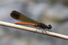 Kleinlibellen (Zygoptera) sind typische Bewohner von Fließgewässern. Quelle: © Senckenberg (idw)