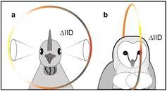 Vögel mit seitlich stehenden Augen, z.B. Amseln, können die Höhenposition von Schallquellen abhängig von der Lautstärke unterscheiden. Dagegen sind Schleiereulen auf frontale Geräusche spezialisiert. Quelle: Schnyder HA, Vanderelst D, Bartenstein S, Firzlaff U, Luksch H (2014) The Avian Head Induces Cues for Sound Localization in Elevation. PLoS ONE 9(11): e112178. doi:10.1371/journal.pone.0112178 (idw)