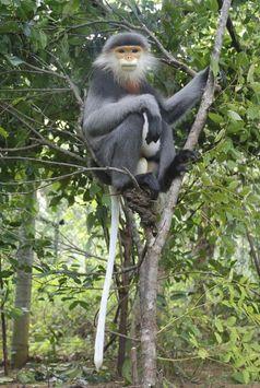 Der in Vietnam beheimatete Grauschenkel-Kleideraffe (Pygathrix cinerea) gehört zu den 25 am stärksten bedrohten Primaten der Welt 2012. Quelle: Foto: Tilo Nadler / Deutsches Primtenzentrum GmbH (idw)