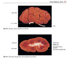 Die Abbildung 3 zeigt eine Farbabbildung aus dem Lehrbuch der Anatomie, aus dem Jahre 2004.