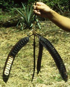 Fruchtstand eines Parkia-Baumes. Die dickflüssigen Säfte in den Hülsen dienen den Tamarinen als Nahrung. Die Samen der Bäume werden dabei von den Affen verschluckt. Quelle: Foto: Eckhard W. Heymann, DPZ (idw)