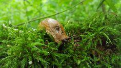 Die Spanische Wegschnecke (Arion vulgaris) transportiert Milben in ihrem Darm. Quelle: Manfred Türke, iDiv (idw)
