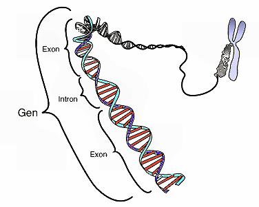 Schematische Darstellung eines Gens auf einem DNA-Strang. Der ...