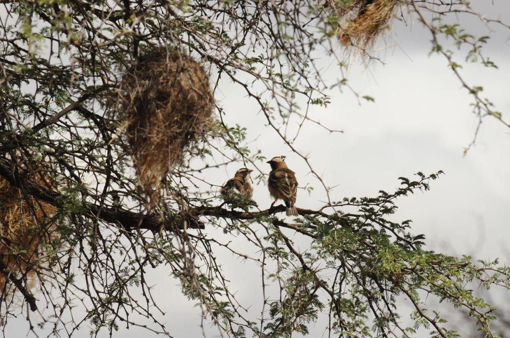 Ein Mahaliweber-Paar sitzt in einem Baum unter ihrem Nest. Das Männchen (rechts) trägt einen Mikrofonsender auf dem Rücken und einen Sender zum Messen der Gehirnaktivität auf dem Kopf. Quelle: Susanne Hoffmann (idw)