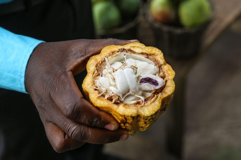 Geöffnete Kakaofrucht (Symbolbild)