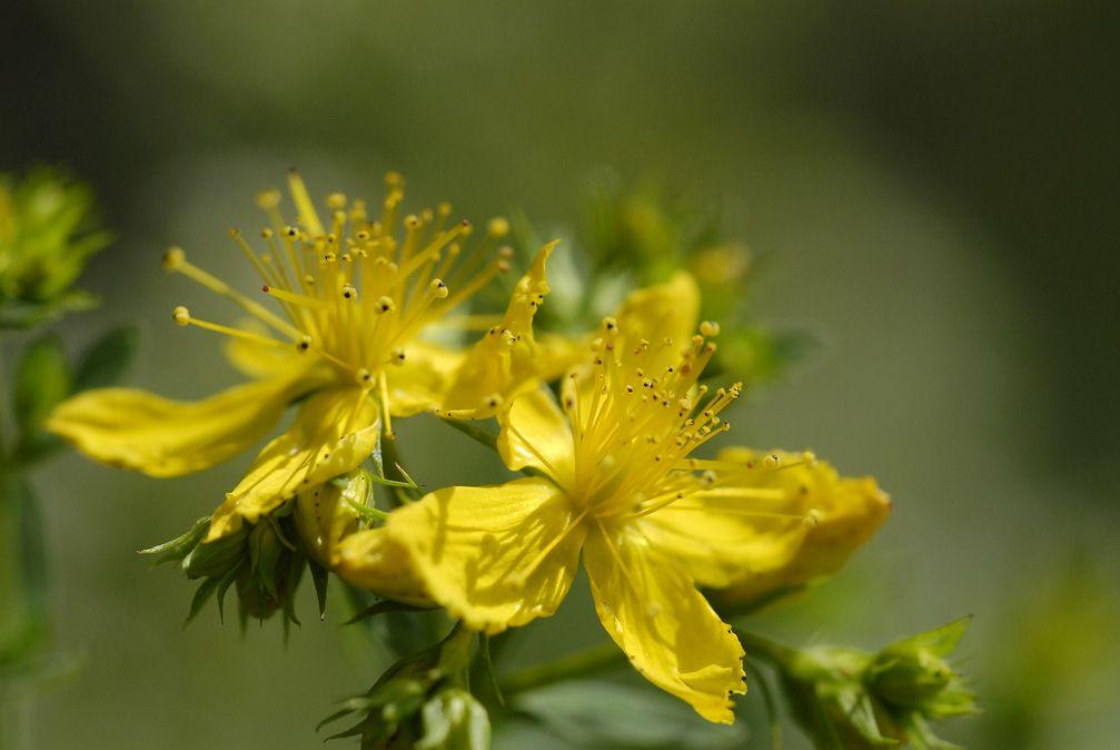Blüht um die Johanniszeit (24. Juni), sammelt und die Kraft der Sonne, hilft bei depressiven Verstimmungen und regeneriert die Haut: Johanniskraut.