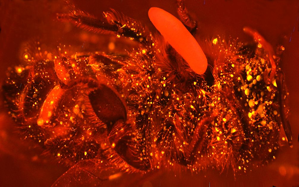 Eine Biene mit Ei, bei der die Abgabe des Stickstoffmonoxids durch einen Fluoreszenzfarbstoff als helle Leuchtpunkte sichtbar gemacht wurde. Quelle: Foto: Erhard Strohm – Zur ausschließlichen Verwendung im Rahmen der Berichterstattung zu dieser Pressemitteilung. (idw)